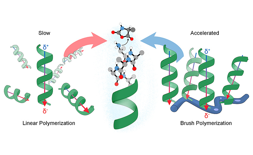 we report a polypeptide-based macromolecule with spatially organized α-helices that can catalyse its own formation. The system consists of a linear polymeric scaffold containing a high density of initiating groups from which polypeptides are grown, forming a brush polymer. The folding of polypeptide side chains into α-helices dramatically enhances the polymerization rate due to cooperative interactions of macrodipoles between neighbouring α-helices. The parameters that affect the rate are elucidated by a two-stage kinetic model using principles from nucleation-controlled protein polymerizations; the key difference being the irreversible nature of this polymerization.